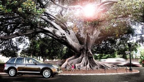 Transportation - Porsche Cayenne unter grossem Feigenbaum_ USA